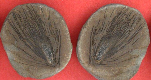 Asterophyllites longifolius