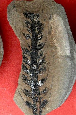 Cordaianthus