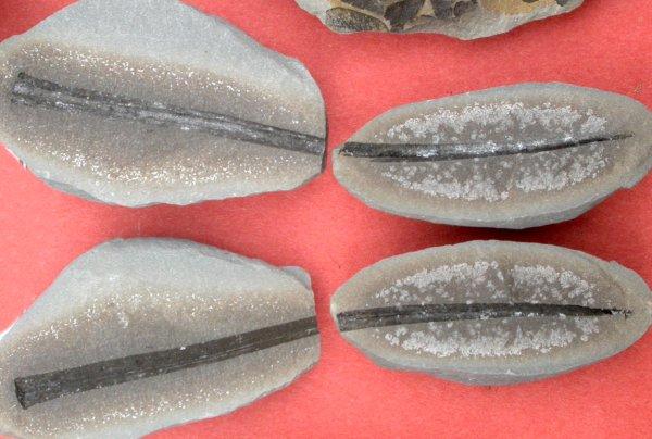 Cyperitus