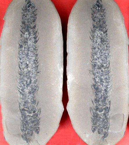 Lepidostrobus