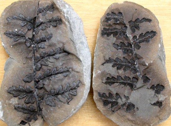Mariopteris muricata