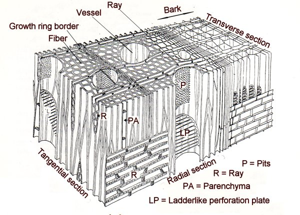 angiosperm wood wood structure diagram