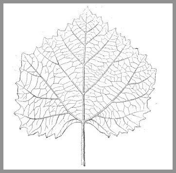 Vine leaf from Sézanne